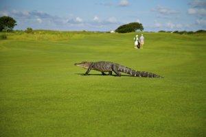 ゴルフ場のワニ