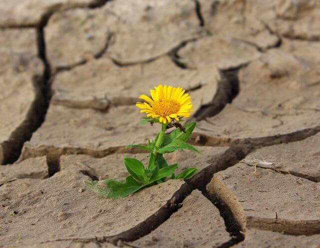 ひび割れた地面に咲くタンポポ