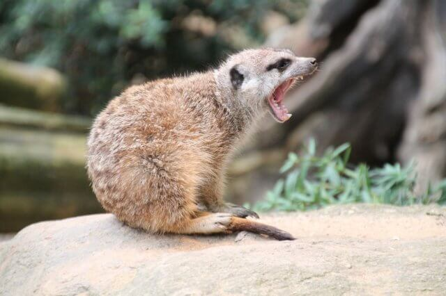あくびをする動物